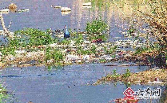 紫水鸡是一种极其珍贵的大型水鸟,因其体羽大都为紫色或蓝色,尾下覆羽白色,翅和胸蓝绿色,被誉为世界上最美丽的水鸟。然而,记者近日在大理白族自治州鹤庆县鹤庆湿地采访时发现,这里已被垃圾所包围,近百种在此栖息的鸟类生存空间在压缩,环境污染的态势令人担忧。(见图)   鹤庆县草海湿地分为中海、南海和北海,记者在主干道上看到,道路两旁除了在此垂钓的人较往年增加外,因干旱少雨,湖泊周围的沼泽地和芦苇少了往年的温润和青翠。深入湿地腹地中海和南海,记者看到,湖泊和沼泽上,丢着为数不少的白色泡沫塑料和生产生活垃圾,部
