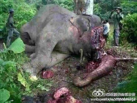 亚洲象尸体