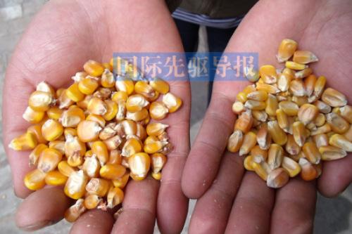 山西部分地区大老鼠绝迹被指与转基因玉米有关