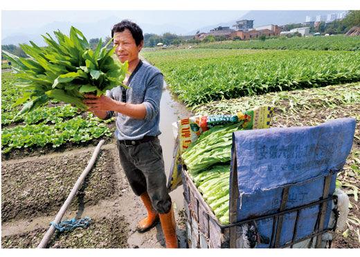 2011年4月27日,福州闽侯南屿,农民在菜地里加紧采摘莴笋叶,由于价格低,销售出去的价格连运输成本都不够。