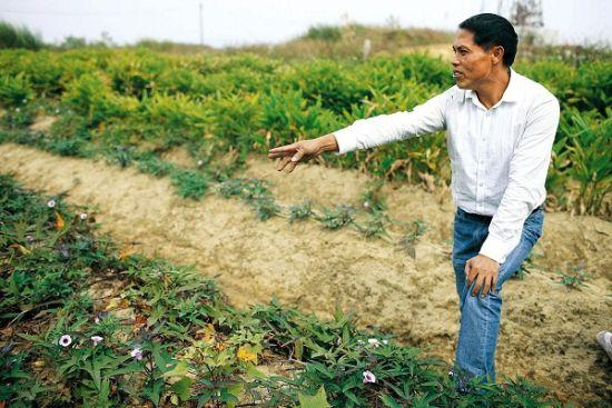 乌坎村民张炳钗只剩下1分多地,分别种着番薯、香芋和当地人叫做凉粉的作物