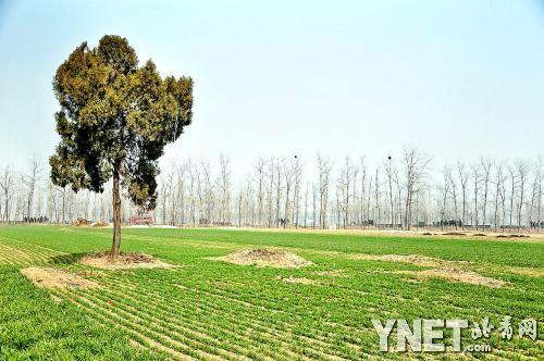 大刘村的田里,平过的坟历历在目,圆圆的一片黄土,略高出地面,成为(3 /3张)