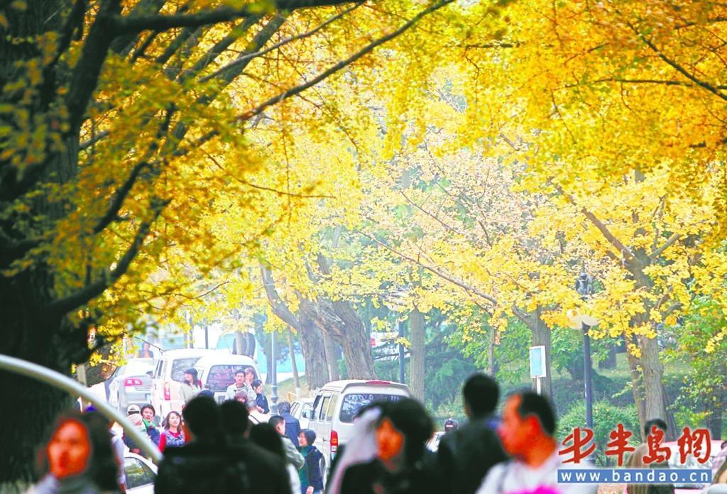 11月7日下午,在八大关景区内,人头攒动,随着各条道路上银杏树的树叶被染成了金黄色,吸引了众多市民及游客前来赏景。市民李先生告诉记者,近日岛城出现了降温天气,不少泛黄的银杏叶开始凋落,趁着叶子落光前,他与家人一起前来欣赏美丽的树叶。记者王滨