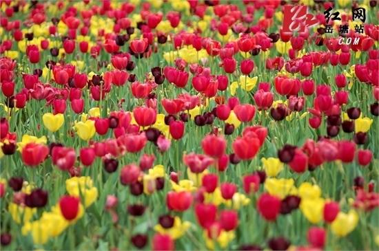 又到清明时节省森林植物园内郁金香芬芳梦未消
