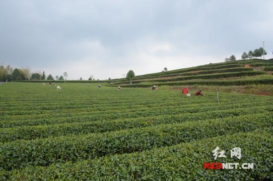 清明踏青茶園顯春意長沙茶農采茶忙(圖)