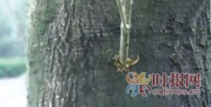 枯死的香樟树被人钻了孔,插了嫩树枝