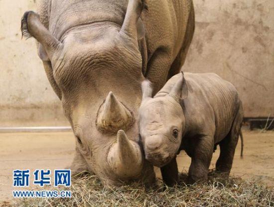 美国动物园20年来首次诞生濒危黑犀牛(组图)