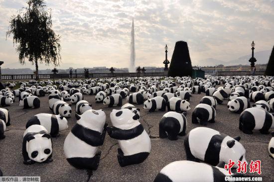 数据显示,目前成年野生大熊猫数量不足2500只。