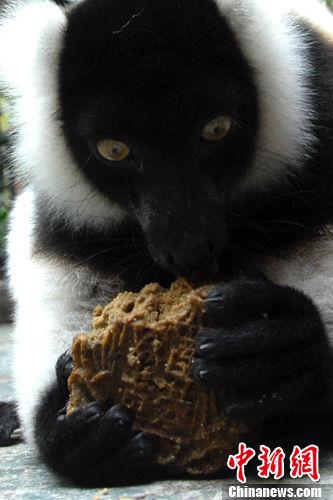 乖巧的斑狐猴仔细地品尝着营养丰富的窝头月饼。
