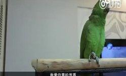 逆天鹦鹉串烧老歌 浑厚歌唱《我爱你中国》