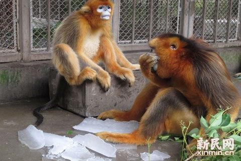 上海连日高温,野生动物园的猴子们在吃冰块解暑.(图片来源:新民网)