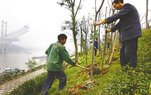 五万树木扮南滨(图文)
