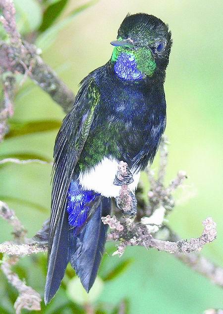 > 正文     据新华社电美联社14日报道,锡达莫百灵,斑颈蜂鸟(上图)和