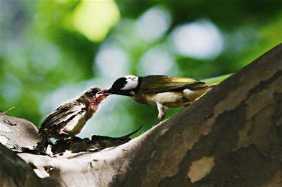 根据记者的描述,该工作人员判断,小鸟可能是白头翁,为保护鸟类.