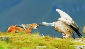 秃鹰VS图纸跨服v秃鹰攻城掠地豺狼远征图片
