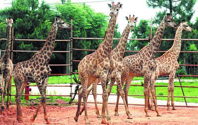 长沙生态动物园,6只从南非引进的长颈鹿在它们的新宿舍区散步休闲.
