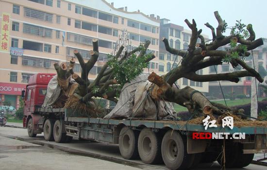 隆回查获一起偷运大树移栽案件(图)_新闻中心