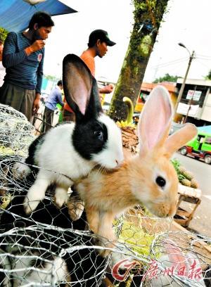 宠物兔可爱不好养兔年别让小兔遭殃