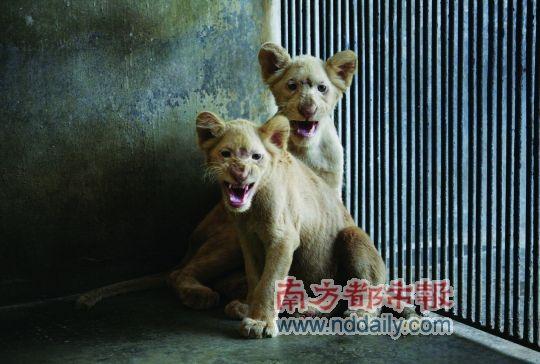 广州动物园两只可爱的小白狮