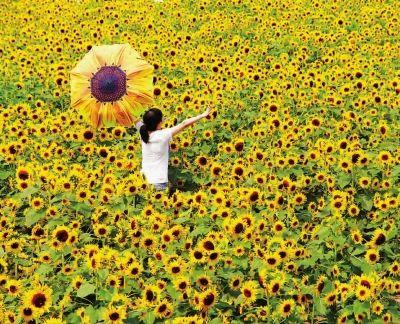 240亩葵花朵朵向阳开