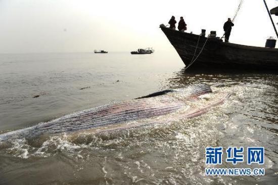 山东日照巨鲸搁浅死亡(组图)