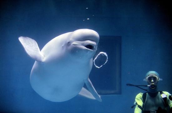 日本水族馆白鲸表演吐泡泡圈