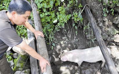 村民称自家草猪在废墟下存活49天(图)