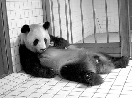 壁纸 大熊猫 动物 450_337