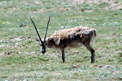 资料图片:生活在藏北羌塘自然保护区的国家一级保护动物藏羚羊(7月