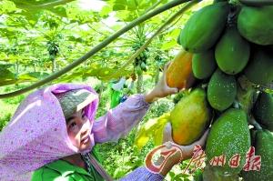市场上95%木瓜系转基因产品商家大多未标明