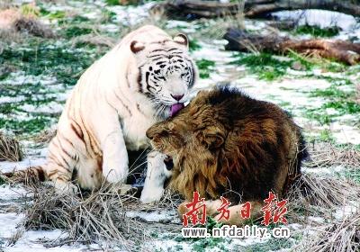 """南京红山森林动物园里充满了浪漫气息,图为雄狮与雌性白虎在""""耳鬓厮磨"""