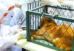 昨晚11时,闯祸的小黄狗在市公安局养犬管理大队犬类留检所接受狂犬病等检疫。据农业部门工作人员介绍,小黄狗是4岁左右的母狗