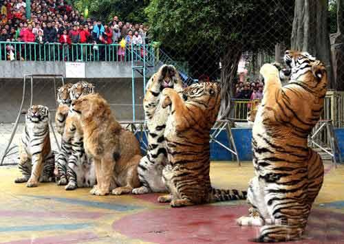 广西南宁动物园的老虎和狮子给游客