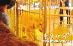 驯兽场母狮撕咬女游客张大口咬时被制止(组图)