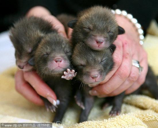 组图:英国野生动物中心救助遭弃小狐狸