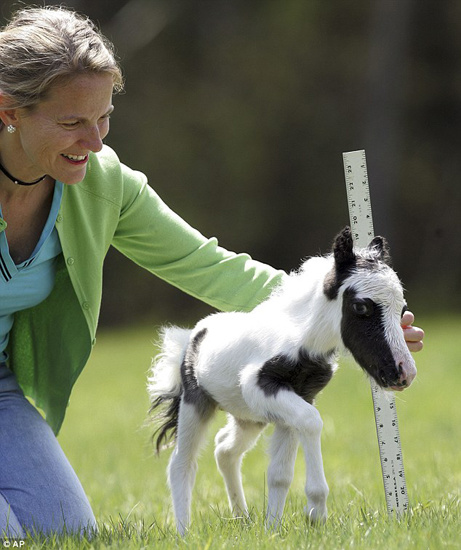 组图:世界上最小新生马驹将打破吉尼斯纪录