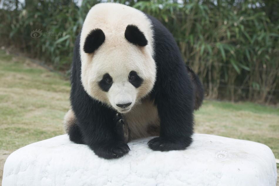 熊猫宝宝抱大腿视频