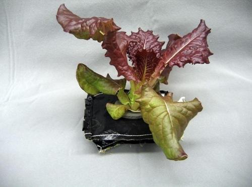 1种被丢掉的菜叶竟能除口臭