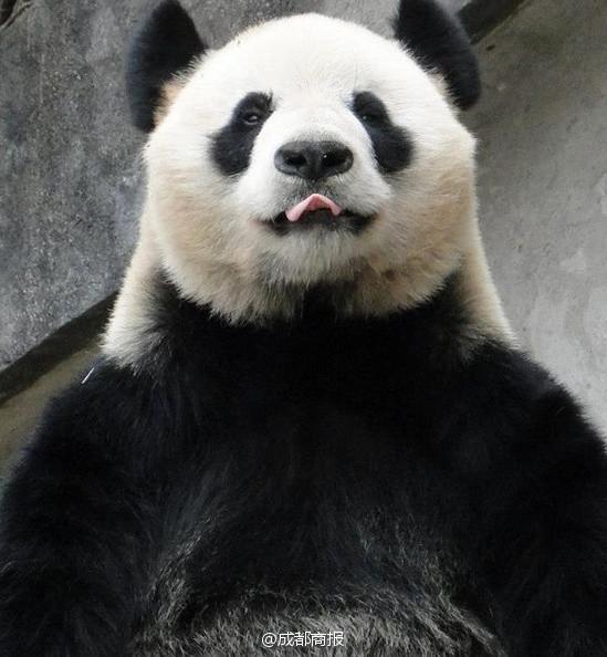 饲养员被大熊猫咬成重伤