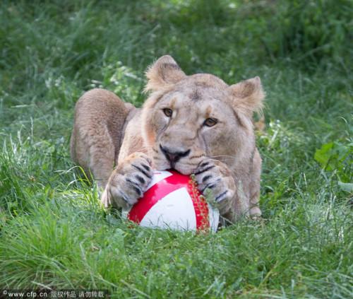高清图-伦敦狮子踢球助威英格兰