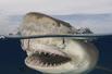鲨鱼抢食瞬间