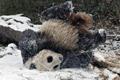 大熊猫雪地翻跟斗