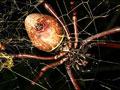 世界最大结网型蜘蛛