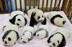 成都新生熊猫亮相