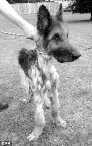 不久前,英国皇家防虐待动物协会发现了一只真正意义上的皮包骨头的