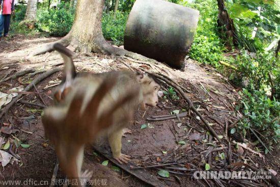 图片偷拍亚_亚曼一只7岁猪尾猴阿古斯对着镜头拳打脚踢,似乎在向偷拍它的摄影师抗