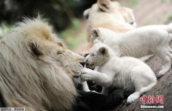 资料图:三胞胎白狮幼崽和雄狮在一起。   中新网8月11日电 据中央社10日报道,泰国清迈动物园10日公布喜讯,园区的雌白狮在7月生下4只小白狮,1公3母,健康良好,将接受民众命名。   泰国清迈动物园近来喜事连连,上周才宣布大猫熊林惠在7月完成人工授精,期待本月下旬可以有好消息传出。   今天又宣布6月自非洲移至清迈动物园的怀孕白狮已经在7月生下4只小白狮,健康情形良好,母狮自行哺乳。不让工作人员靠近。   清迈动物园从10日起开放民众参观小白狮,同时接受民众命名。   据悉,白狮一般常被认为是