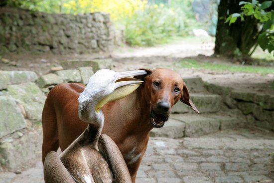 图文:鹈鹕张嘴揪住狗的耳朵