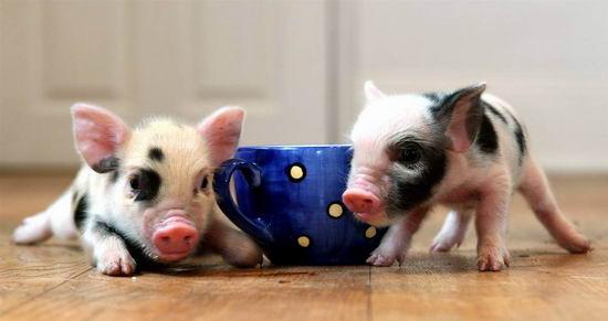 组图:茶杯小猪宠物风靡英国