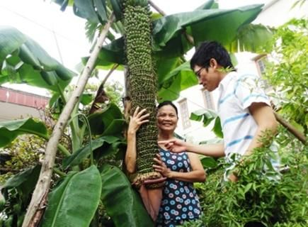 越南超级香蕉树一穗已结出3000多香蕉(图)